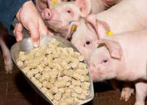 Pig Feed Pellet Size & Its Impact on Pig Performance